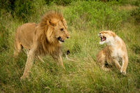 Lioness roars at male lion after mating