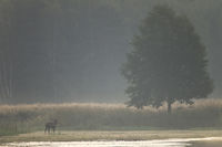 Red stag at early morning