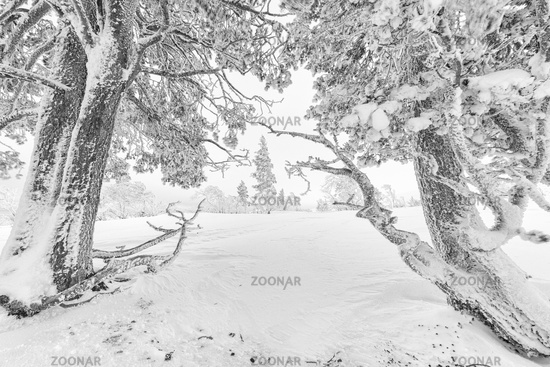Snow covered pines, Dundret nature reserve, Gellivare, Lapland, Sweden