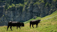 Black cows in Swiss Alps