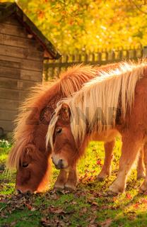 Zwei kleine braune Ponies im goldenen Herbstlicht