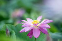 blooming lotus flower closeup