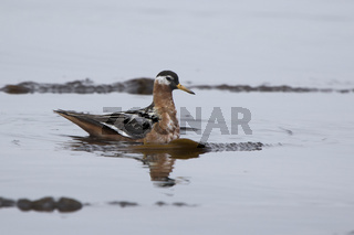 red phalarope swimming among seaweed near the shore of the island in the Pacific Ocean