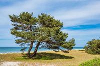 Küstenwald auf dem Fischland-Darß in Prerow