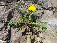 A flowering dandelion in a wall crevice