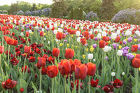Tulip flower bulb field in the garden, Spring season in Amsterdam Netherlands