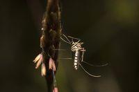 Giant mosquito, Nagla block, Mumbai, Maharashtra, India