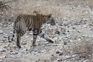 female Bengal tiger that goes across the road in the winter forest