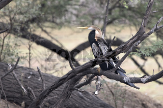 male Oriental darter who sits on a dry branch of a tree standing in the water