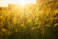 Wild grass blades and spikelets backlit by setting sun shallow DOF
