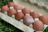 fresh free range eggs with chicken feather on an egg