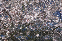 Prunus subhirtella Autmnalis, Pink Autumn Cherry