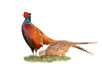 Pair of two common pheasants isolated on white background