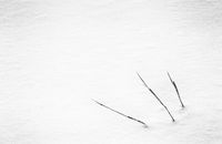grass stalks in a field of deep snow in winte