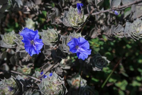 Blue mountain flowers at Cachoeira Da Fumaca, Smoke Waterfall, Vale Do Capao, Chapada Diamantina National Park, Brazil