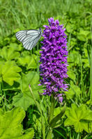 White butterfly Aporia crataegi on purple wild orchid Dactylorhiza majalis flower