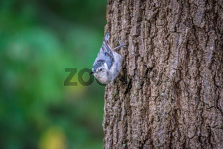 Huthatch bird  nut pecker in the wild on a tree