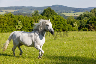 white horse running in spring pasture