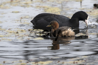 Little Grebe floating on a small lake during the wintering next to the Eurasian Coot