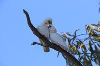 little corella Cacatua sanguinea white cockatoo in the wild in urban park in Queensland Australien