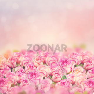 Beautiful pink roses for background