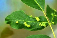 gall mite; walnut leaf gall mite