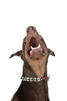 Brown Doberman Pinscher Dog looking up isolated on white.