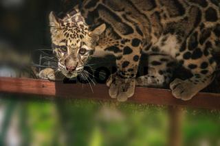 Baby clouded leopard kit Neofelis nebulosa
