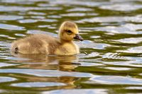 Canada goose chick swimming