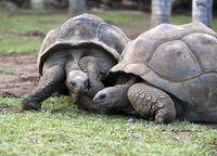 two Big Seychelles turtles in park.