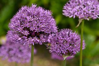 Riesen-Lauch, Allium giganteum, giant allium, giant onion
