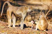 baboons, South Luangwa National Park, Zambia