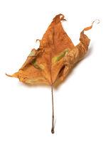 Autumn dried maple-leaf