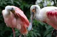 The pair of Roseate Spoonbill (Platalea Ajaja) in nature.