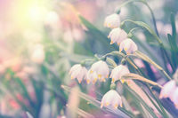 Beautiful spring wild Snowflake flowers Leucojum vernum in the forest, in sun light, macro. Soft focus nature background. Delicate pastel toned image. Nature floral springtime. Copy space