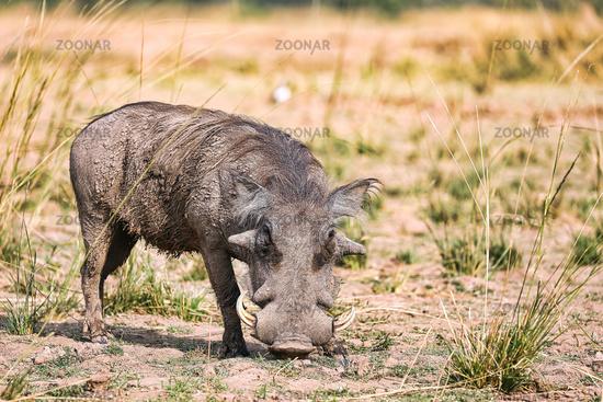 Warthog, South Luangwa National Park, Zambia, (Phacochoerus africanus)