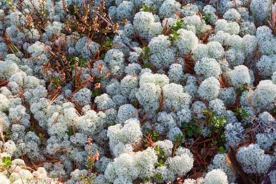 Cladonia Stellaris lichen on the ground in the forest
