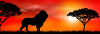 African lion on sunset background