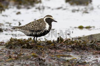 Pacific golden plover standing on the shallows at the seashore during the spring passage