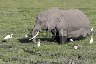 African elephant that feeds on a boggy meadow surrounded by herons and other birds