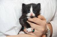 Little black kitten on a white background. Home pet. Kitten 3 weeks.