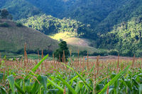 Corn farm field in front of rice field and mountain