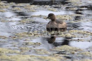 Little Grebe floating on a small lake during a wintery overcast day