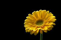 Beautiful yellow gerbera flower isolated on a black background.