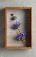 Salvia purple sage flowers still life in shadow box