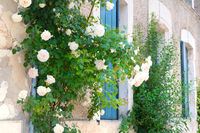 White roses with blue blinds on the windows