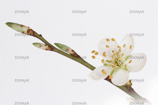 Flowering of a tree