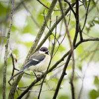 Young tit between branches
