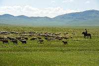 Mixed herd of sheep and Kashmir goats grazing in the steppe, Mongolia