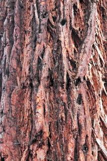 Kalifornischer Mammutbaum